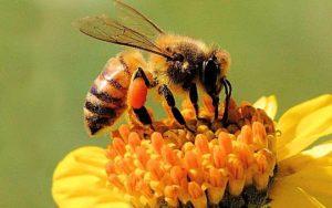 api-fiori-miele